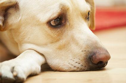 Labrador on Floor